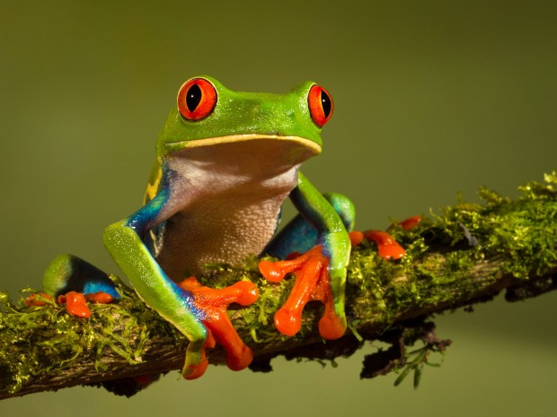 Red-eyed-Tree-Frog-2