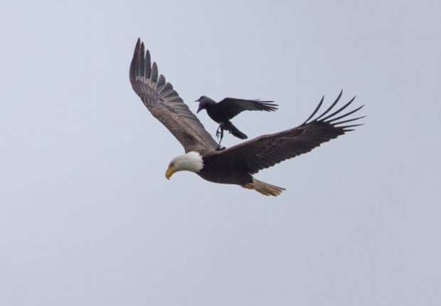 crow-rides-eagle-bird-photography-phoo-chan-5