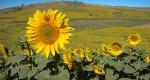 گل های آفتابگردان