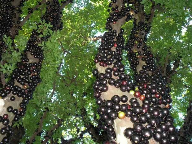 عجیب ترین میوه های