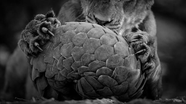 فینالیست های مسابقه سالانه عکاسی حیات وحش سال 2016