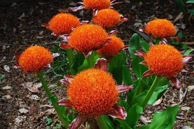 گل خون (Scadoxus multiflorus)