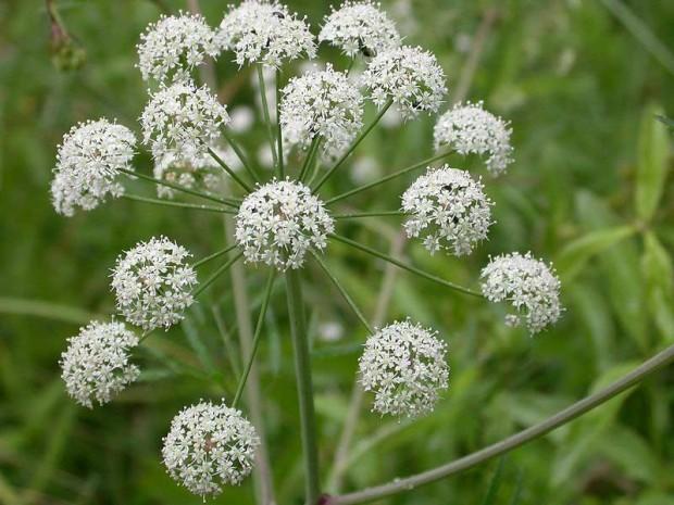 گل شوکران (Hamelock)
