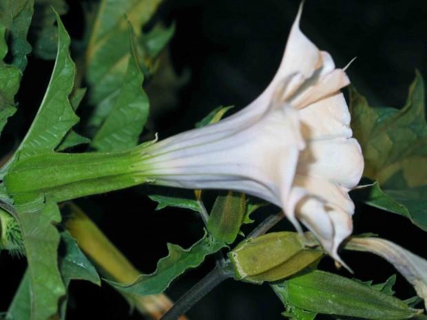 تاتوره  (Datura stramonium)
