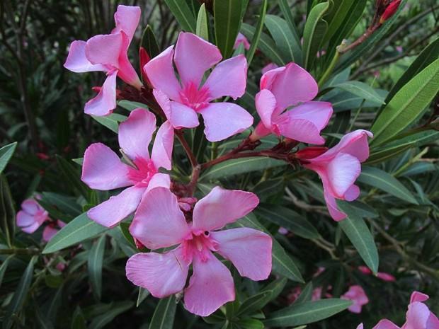خرزهره (Oleander)