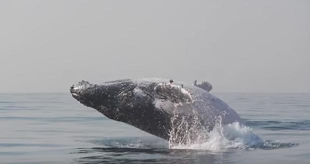 نهنگ کوهان دار