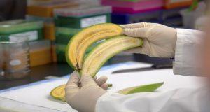 موز طلایی ، میوهای اصلاحشده برای جلوگیری از مرگ کودکان در سراسر جهان