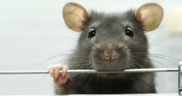 مبارزه با بیماریها و پیشرفت علم پرورش اعضای مصنوعی با ساخت قلب مینیاتوری انسان از قلب موش
