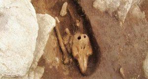 کشف استخوانهای دفن شده یک گرازماهی باستان شناسان را سردرگم کرده است (ویدیو)