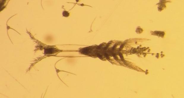 کشف تعدادی پلانکتون هیولا مانند دانشمندان را شگفتزده کرد