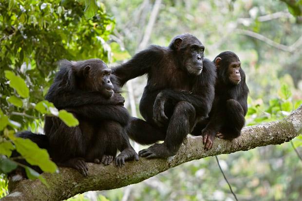 واکنش شامپانزه ها در هنگام خطر