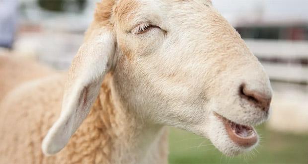 توانایی تشخیص چهره در گوسفندان