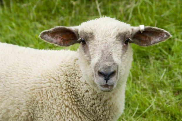 جنین دورگه انسان و گوسفند برای اولین بار در جهان به وجود آمد