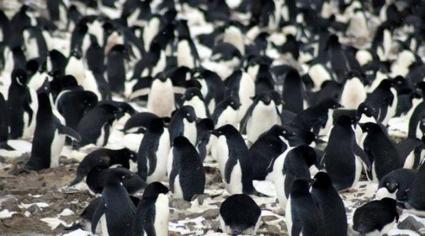 زیستگاه 1.5 میلیون پنگوئن آدلی