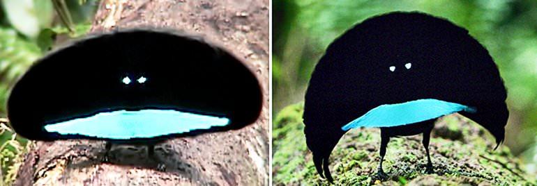 مرغ بهشت ونتابلک با ظاهری فوقالعاده عجیب کشف شد! + ویدیو