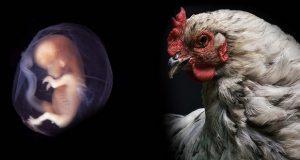 جنین پیوندی انسان و مرغ در آزمایشگاه ساخته شد!