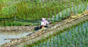 برنج تراریخته