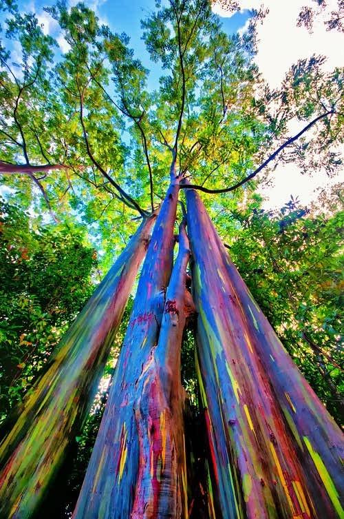 درخت اکالیپتوس رنگین کمان - عجیب ترین های زمین