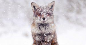 روباه های وحشی