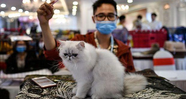 گربهها میتوانند ویروس کرونا را به یکدیگر منتقل کنند