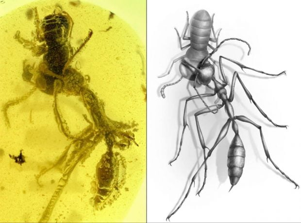 کشف مورچه جهنمی 99 میلیون ساله در یک کهربای باستانی