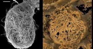 کشف قدیمی ترین نمونه اسپرم جهان در فسیلی 100 میلیون ساله