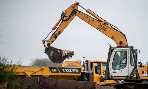 فرار بیش از 100 راسوی دانمارکی آلوده به کرونا در حیات وحش