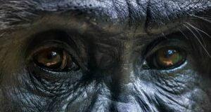 اولین مورد انتقال کرونا به میمون تایید شد
