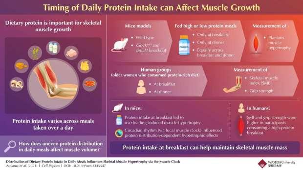 برای عضله سازی بهتر پروتئین خود را صبحها مصرف کنید